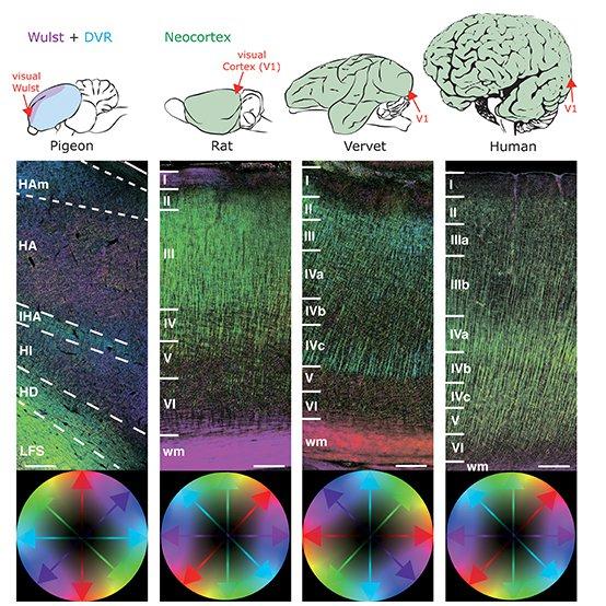 neocortex-v3.jpg