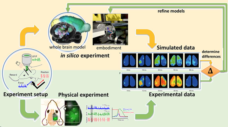 Whole mouse brain model